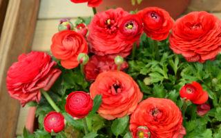 Лютик или ранункулюс садовый : выращиваем в домашних условиях, полив, пересадка и особенности почвы