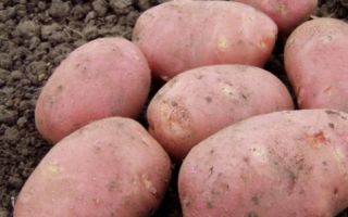 Картофель рокко: описание сорта с фото и отзывами