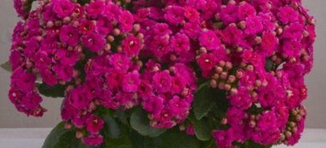 Почему не цветет каланхоэ – поиск причин и их устранение, уход в домашних условиях
