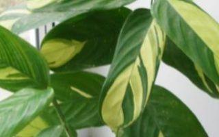 Ктенанта: уход в домашних условиях, виды с фото, в том числе оппенгейма, лубберса, что делать, если сохнут листья и при других проблемах