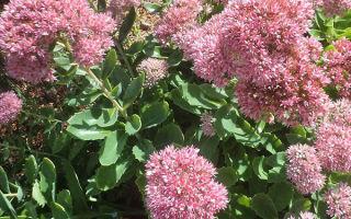 Очиток или седум : выращиваем в домашних условиях, полив, пересадка и особенности почвы