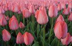 Голландские тюльпаны — сорта и отличительные особенности