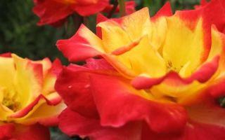 Что нужно знать о посадке роз, чтобы саженцы укоренились в саду