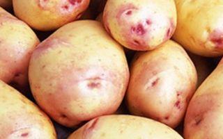 Лучшие сорта картофеля для средней полосы россии: описание урожайных и новых видов