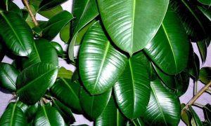 Уход за разными видами фикуса в домашних условиях
