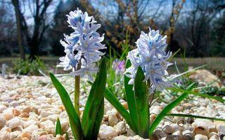 Пушкиния : выращиваем в домашних условиях, полив, пересадка и особенности почвы