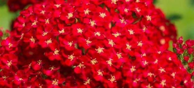 Тысячелистник декоративный – как правильно посадить и ухаживать, советы агрономов