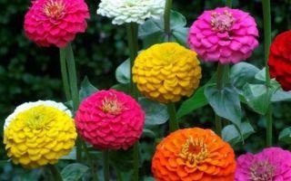 Бархатцы : выращиваем в домашних условиях, полив, пересадка и особенности почвы