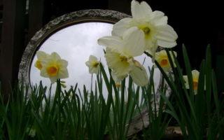 Нарцисс : выращиваем в домашних условиях, полив, пересадка и особенности почвы