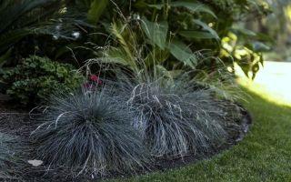 Овсяница — декоративная трава : выращиваем в домашних условиях, полив, пересадка и особенности почвы