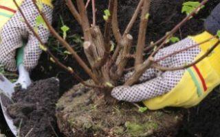 Пересадка вишни осенью на новое место – правила и рекомендации + видео