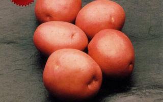 Картофель красавчик: описание сорта с фото и отзывами