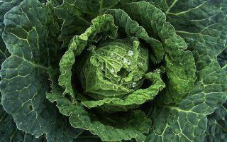 Савойская капуста — особенности выращивания, уход и полезные свойства