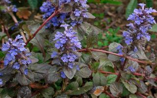 Живучка ползучая : выращиваем в домашних условиях, полив, пересадка и особенности почвы