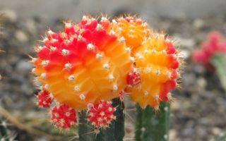 Гимнокалициум — уход за кактусом дома