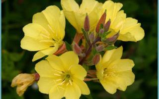 Энотера : выращиваем в домашних условиях, полив, пересадка и особенности почвы
