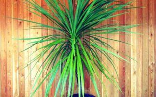 Драцена — уход и выращивание в домашних условиях