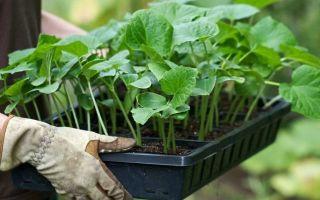 Болезни рассады огурцов, что делать, если не растет, желтеют или вянут листья