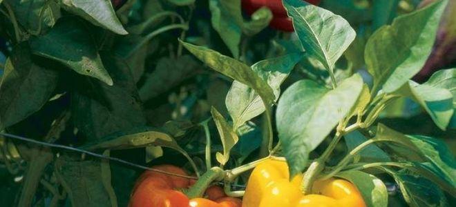 Особенности выращивания перца в теплице и открытом грунте