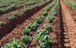 Метод митлайдера для выращивания высокого урожая картофеля