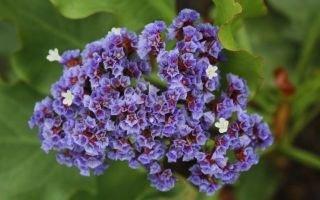 Кермек  : выращиваем в домашних условиях, полив, пересадка и особенности почвы