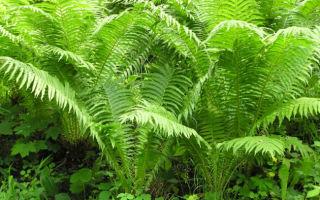 Страусник : выращиваем в домашних условиях, полив, пересадка и особенности почвы