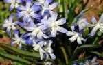 Белоцветники : выращиваем в домашних условиях, полив, пересадка и особенности почвы
