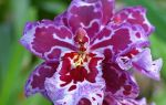 Грамотный уход за орхидеей Камбрией в домашних условиях