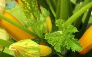 Кабачок апельсинка, нежный зефир и другие желтоплодные сорта: описание и особенности выращивания