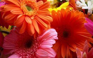 Комнатная гербера: уход в домашних условиях, фото, выращивание из семян в горшке, почему не цветет, болезни