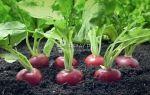 Редис — описание, польза и вред для здоровья, использование в кулинарии и народной медицине