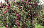 Правильное формирование кроны яблони, для хорошей урожайности и качественных плодов