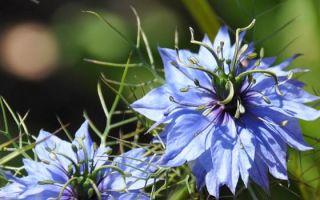 Нигелла (цветок чернушка) : выращиваем в домашних условиях, полив, пересадка и особенности почвы