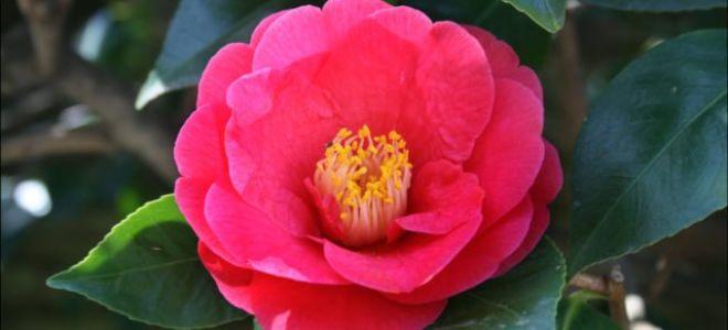 Уход за цветком Камелии в домашних условиях