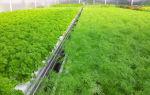 Выращивание укропа в теплице зимой и не только