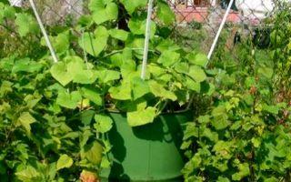 Выращивание огурцов в бочке и на шпалере своими руками