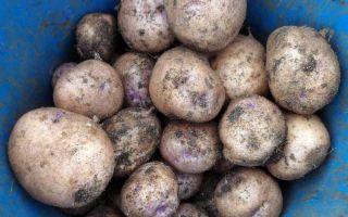 Картофель синеглазка: описание сорта с фото и отзывами