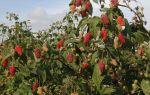 Малина Брянское диво — описание, особенности выращивания и ухода, отзывы