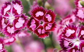 Гвоздика турецкая : выращиваем в домашних условиях, полив, пересадка и особенности почвы