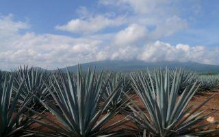 Красавица из мексики голубая агава