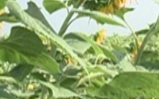 Когда происходит уборка подсолнечника и на какую урожайность с 1 га можно рассчитывать?
