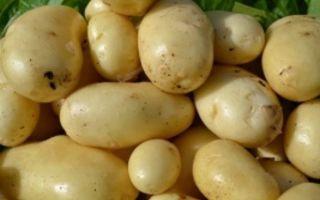Ранние и ультраранние сорта картофеля: как вырастить и получить урожай, способы посадки, в том числе под плёнку и агроволокно