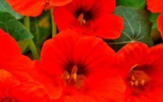 Настурция: выращивание из семян, посадка и уход на клумбе, балконе, в открытом грунте + фото и видео