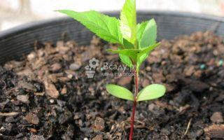 Как вырастить яблоню из семечка (косточки) и ухаживать за ней
