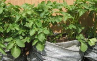 Выращивание картофеля в мешках: технология посадки, пошаговая инструкция и другие особенности