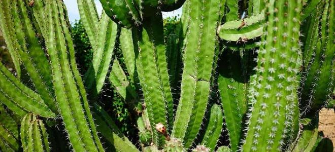 Виды кактусов: фото и описание на русском языке