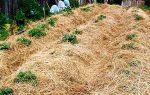 Выращивание картофеля под соломой — инструкция