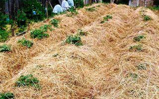 Выращивание картофеля под сеном и соломой 145