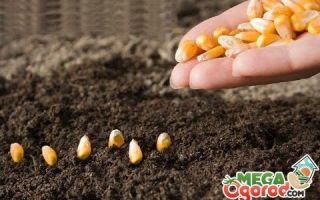 Сахарная кукуруза: технология выращивания и особенности сорта