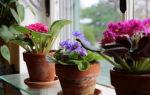 Как правильно пересадить или рассадить фиалку в домашних условиях